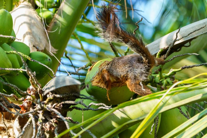 Różnobarwna wiewiórka &-x28; Sciurus variegatoides&-x29; w Costa Rica zdjęcie stock