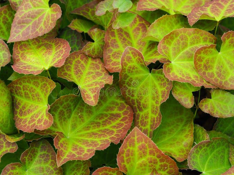 Różnobarwni liście na barrenwort roślinie obraz royalty free