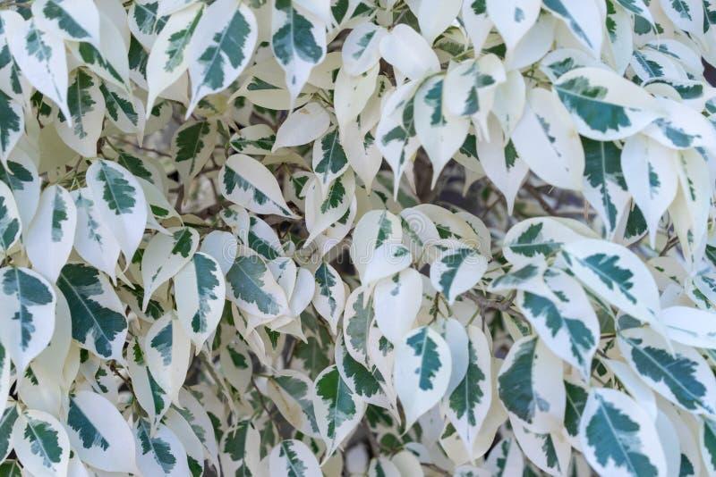 Różnobarwny ficus beniamin jako natury tło zdjęcie stock