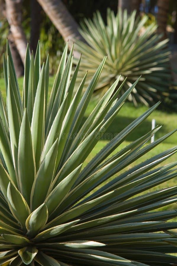 różnobarwny karaibów agawy fotografia royalty free