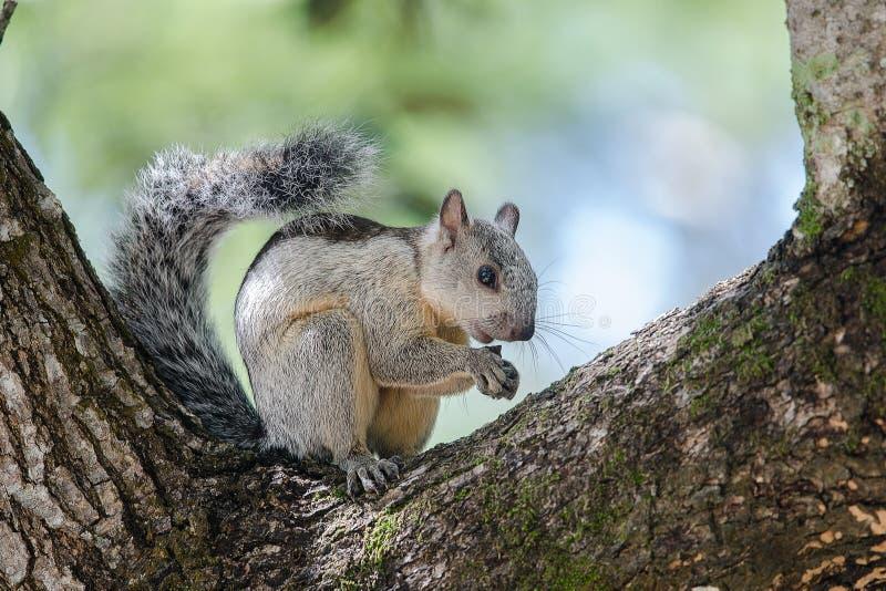 Różnobarwny wiewiórczy odpoczywać na drzewie zdjęcia stock