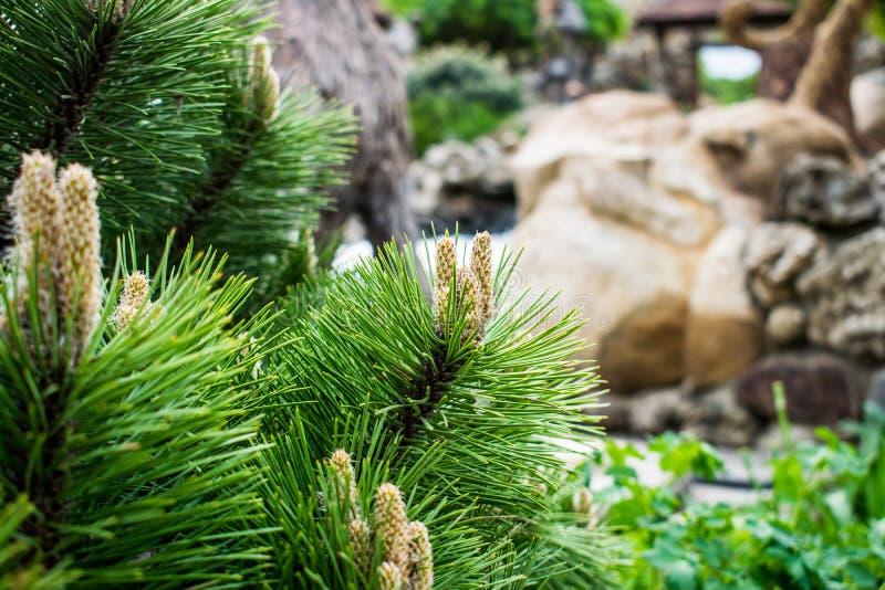 Różnorodni fragrant iglaści drzewa i krzaki w parku kamienie pod otwartym niebem zdjęcie royalty free