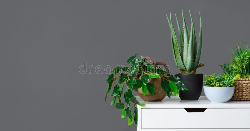 Różnorodni houseplants na bielu stole nad popielatą ścianą obraz stock