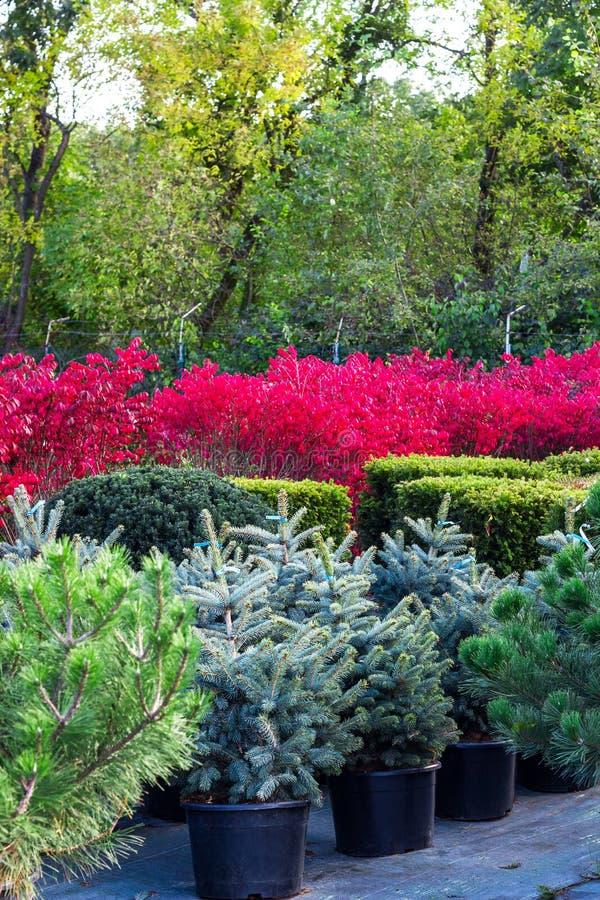 Różnorodni krzaki i drzewa w garnkach sprzedawali w ogrodowym centrum zdjęcie royalty free
