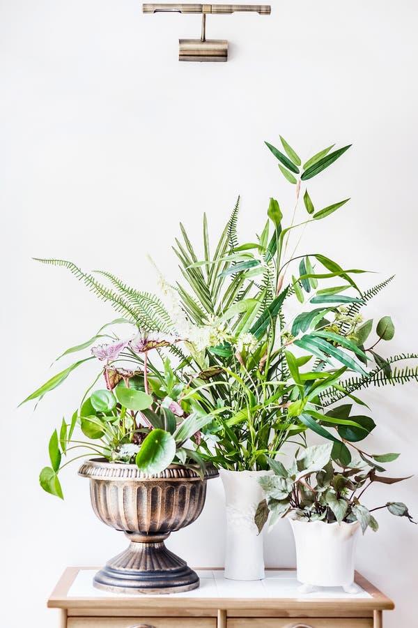 Różnorodni zbiorniki z zieloną tropikalną Salową domową rośliną układali na stole przy biel ściany tłem: Liść begonia, bambus, ku obraz royalty free