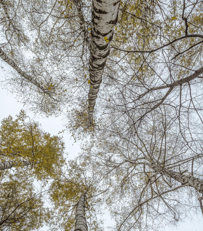 Różnorodność brzozy korona w jesień lesie przeciw szarość fotografia royalty free