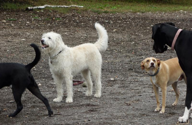 Różnorodność psa czerni duży mały biały dębnik puszysty gładzi żakiety obrazy royalty free