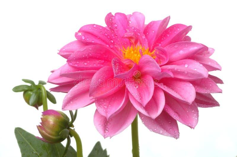 różową dahlię kropli wody fotografia royalty free