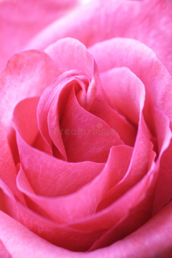 Download Różową różę obraz stock. Obraz złożonej z otwarty, kolor - 1641
