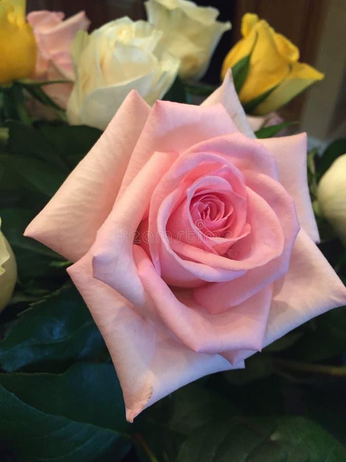 różową różę zdjęcie stock