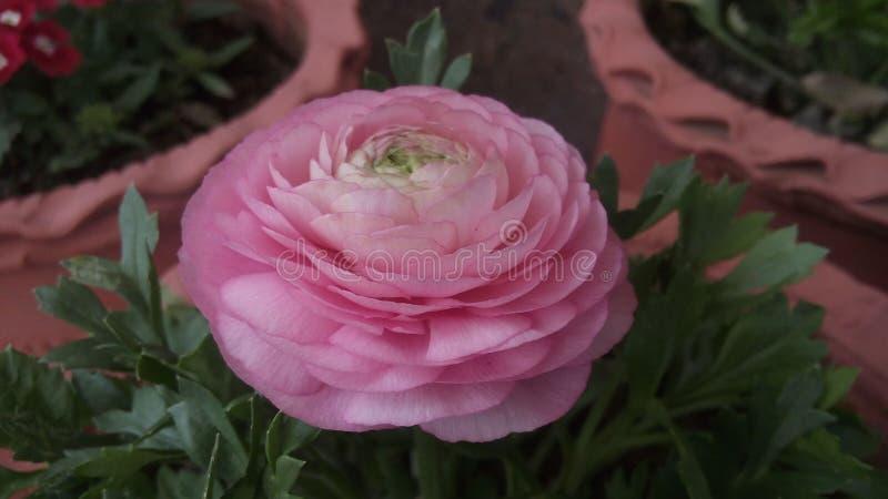 różową różę zdjęcia royalty free