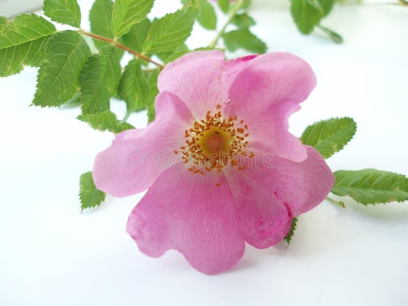 różową różę białe tło fotografia stock