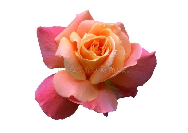 różową różę białe tło obrazy stock