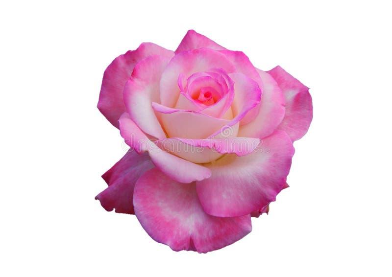 różową różę białe tło zdjęcia royalty free