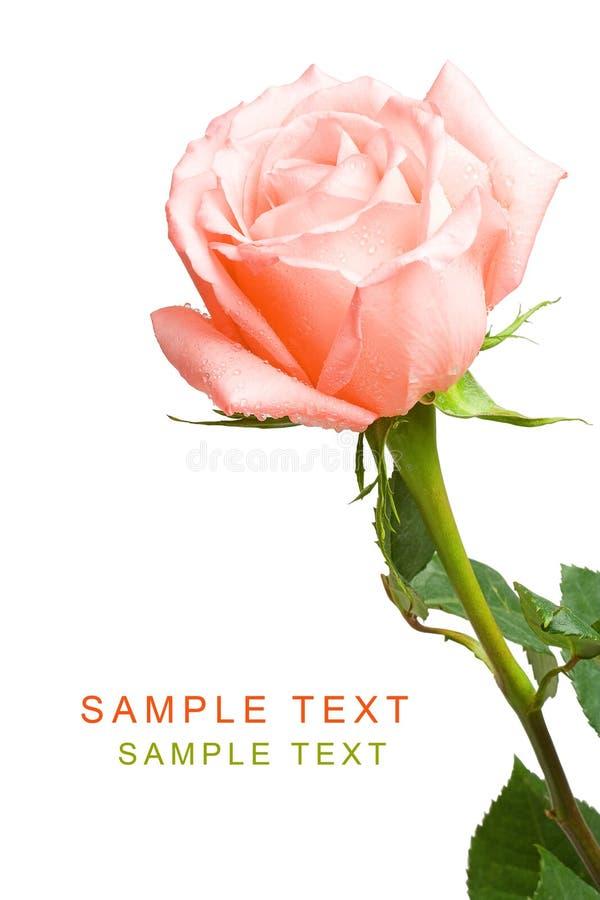 różową różę white zdjęcie stock