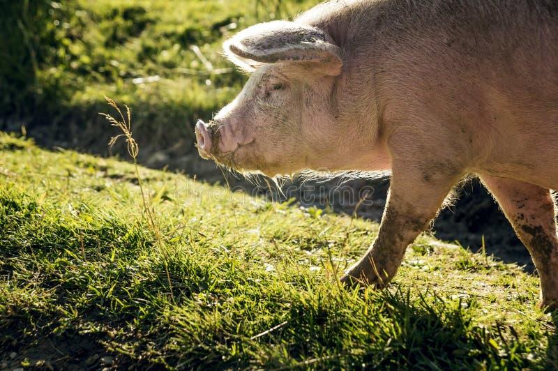 Różowa świnia fotografia stock