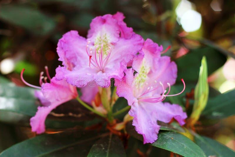 Różowa azalia kwitnie z wodnymi kropelkami na płatkach w słońcu Rodendron ogródu deszczu pole fotografia stock