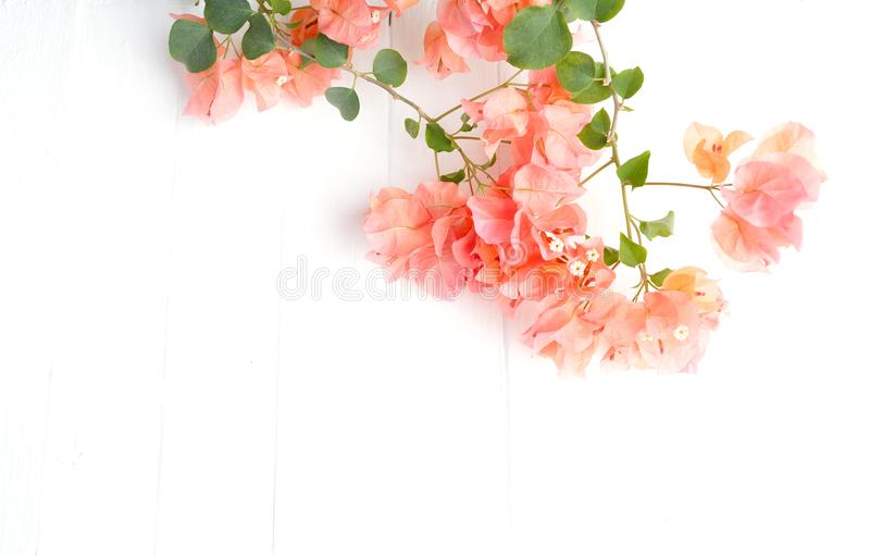 Różowa bougainvillea gałąź na białym drewnianym tle zdjęcia stock