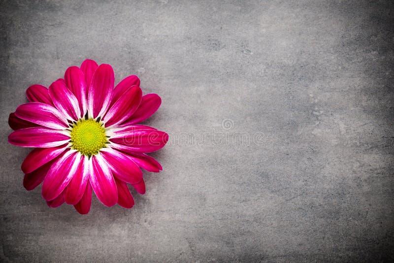 Różowa chryzantema na żółtych tło obraz royalty free