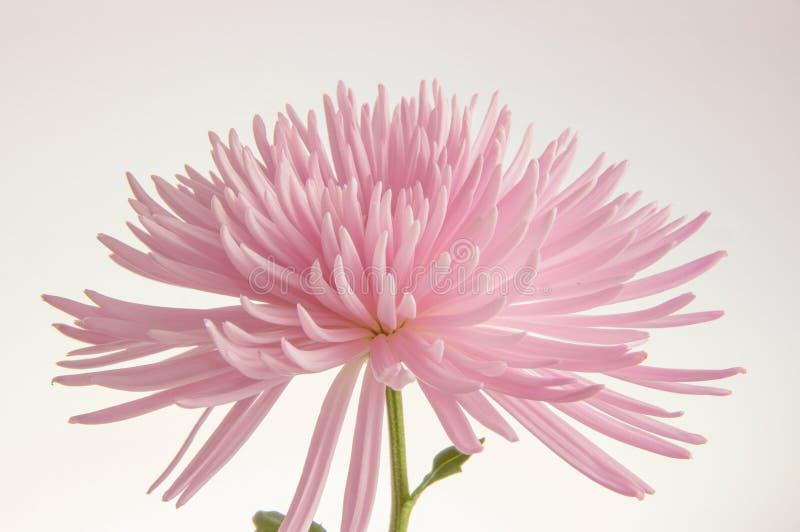 Różowa chryzantema odizolowywająca zdjęcia stock