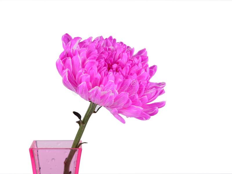 Różowa chryzantema w wazie zdjęcie royalty free