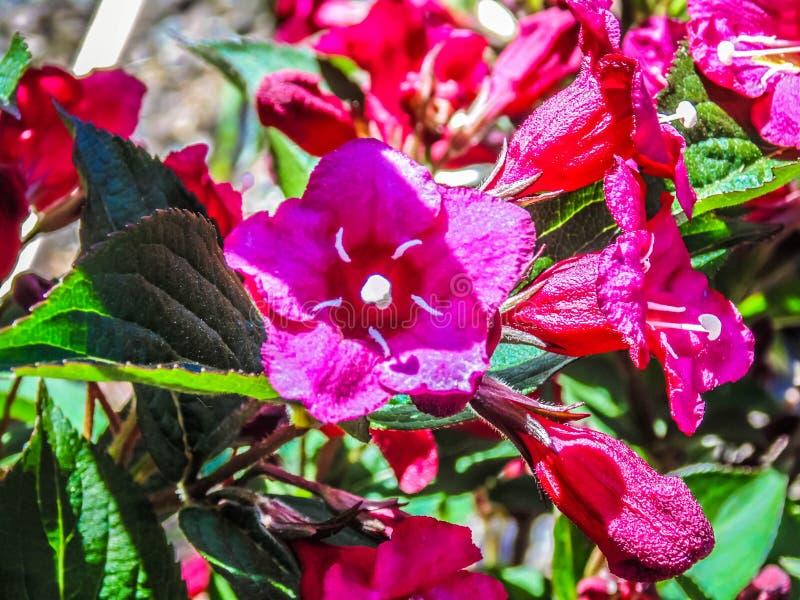 Różowa chwała obraz stock