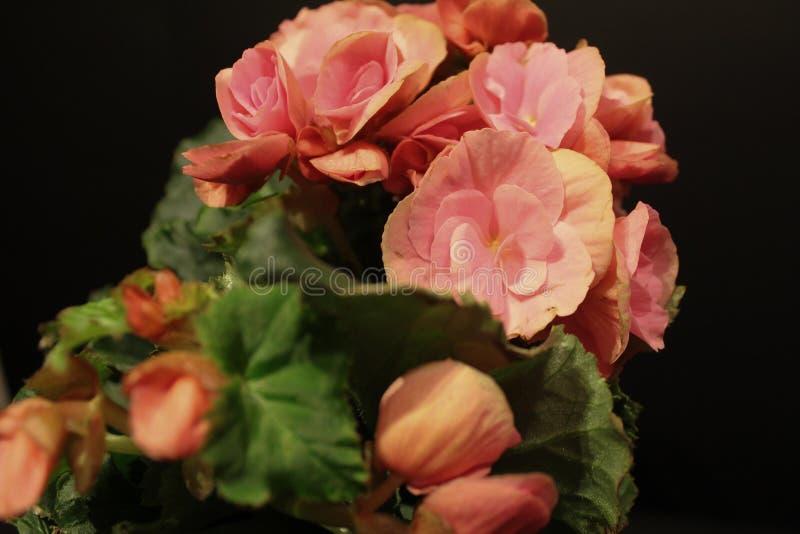 Różowa czerwieni zieleń zdjęcie royalty free