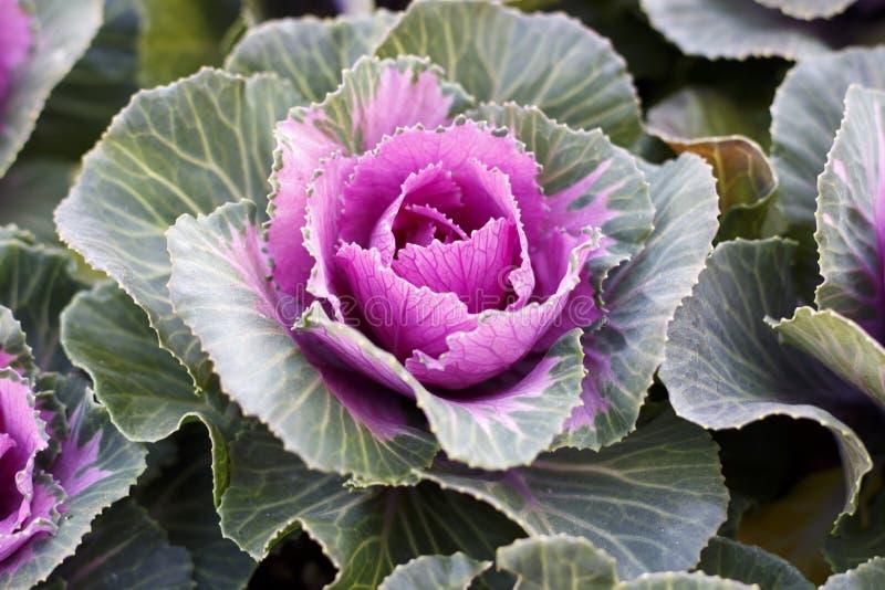 Różowa dekoracyjna kapusta w górę, naturalny tło obrazy royalty free