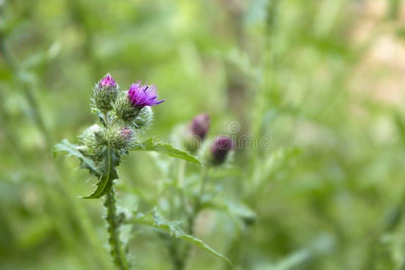 Różowa dojnego osetu ziołowa roślina kwitnie w polu zdjęcia royalty free