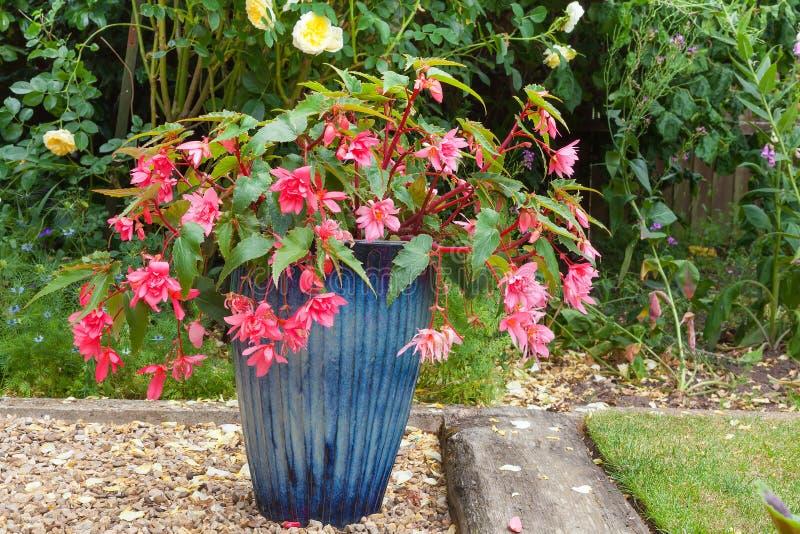 Różowa dwoista fuksi roślina w błękitnym porcelanowym garnku fotografia stock