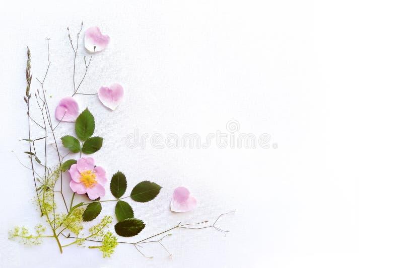 Różowa dzika róża i liście na białym brezentowym tle, rama rośliny zdjęcie stock