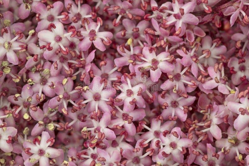 Różowa elderberry okwitnięcia ful rama zdjęcia stock