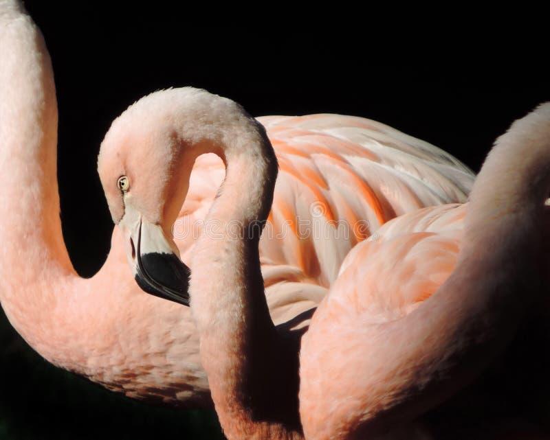 Różowa flaming para w słońcu fotografia royalty free