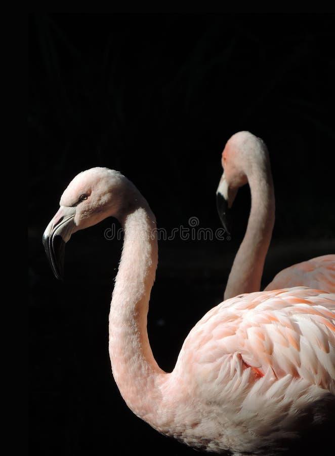 Różowa flaming para w słońcu fotografia stock