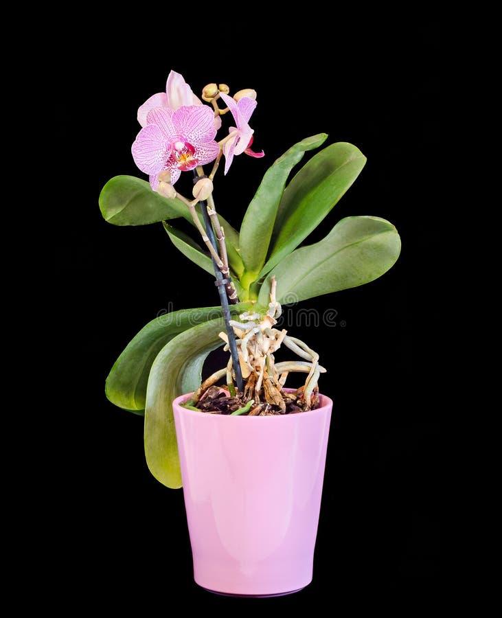 Różowa gałęziasta orchidea kwitnie, waza, flowerpot, Orchidaceae, Phalaenopsis znać jako ćma orchidea, skracający Phal obraz stock