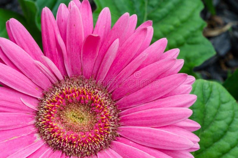 Różowa gerber stokrotka obraz royalty free