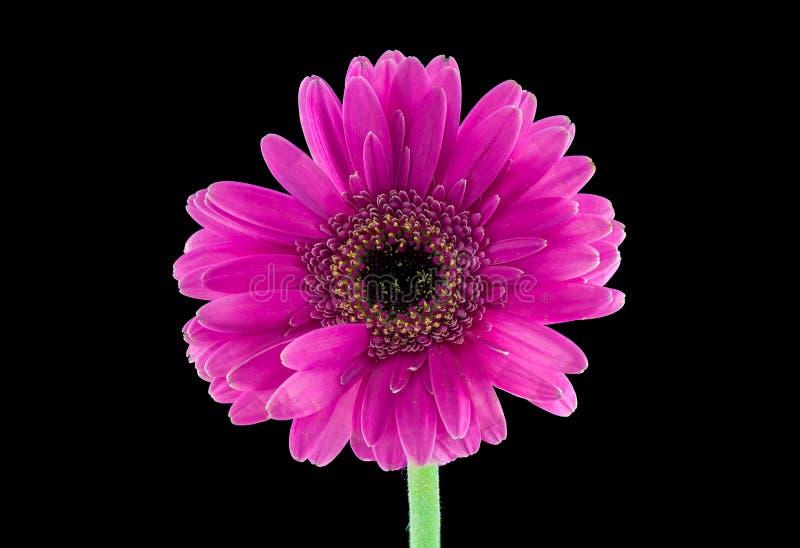Różowa gerber stokrotka zdjęcia royalty free