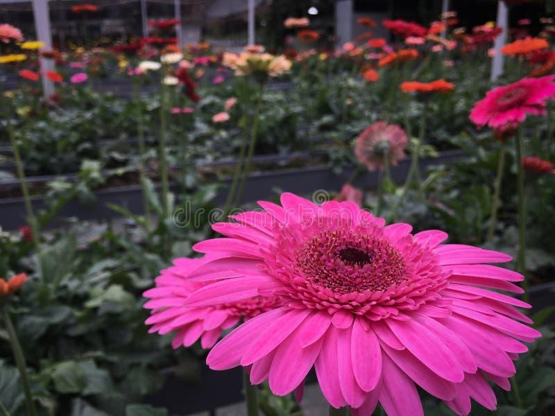 Różowa gerber stokrotka zdjęcia stock
