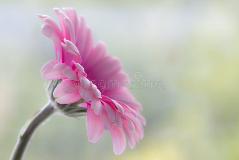 Różowa Gerbera stokrotka obraz stock