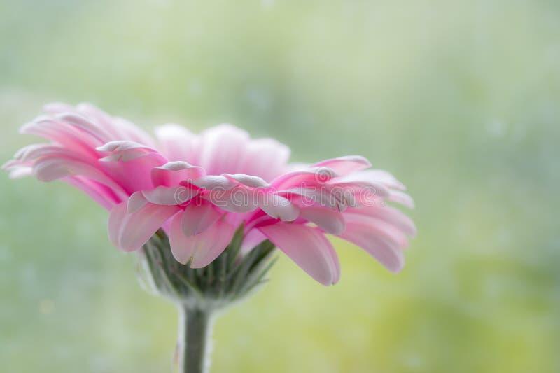 Różowa Gerbera stokrotka zdjęcie royalty free