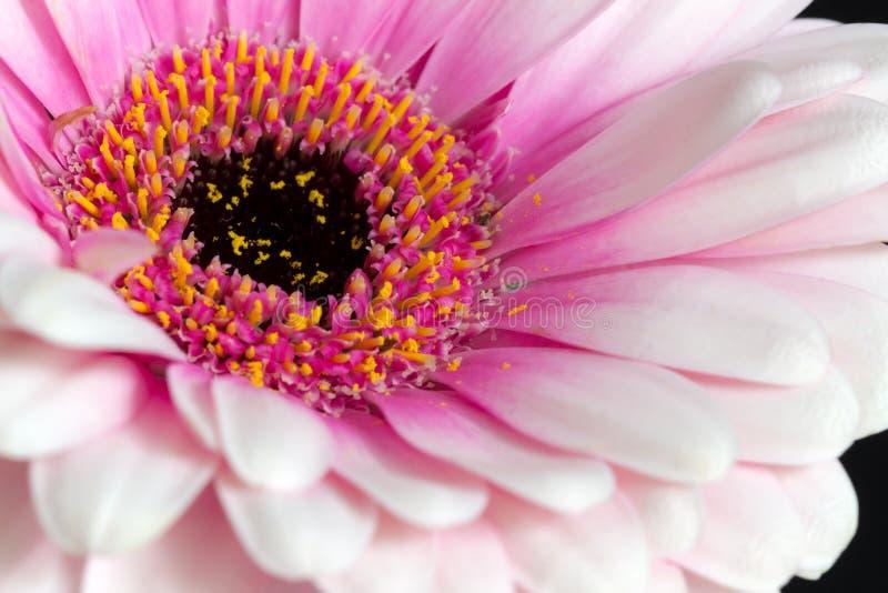 Różowa Gerbera stokrotka fotografia stock