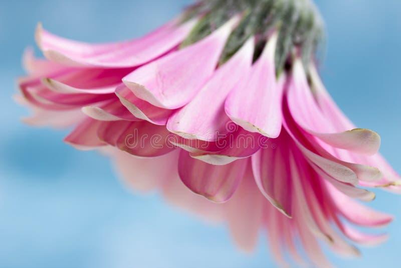 Różowa Gerbera stokrotka obraz royalty free