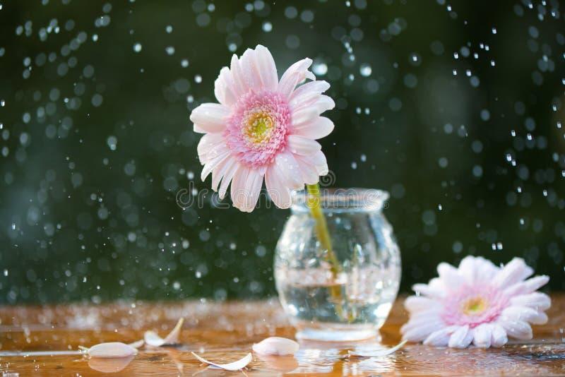 Różowa Gerbera stokrotka kwitnie w wazie pod deszczem na drewnianym stole outdoors zdjęcia stock