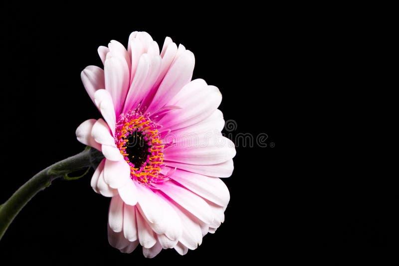 Różowa Gerbera stokrotka na Czarnym tle zdjęcie royalty free
