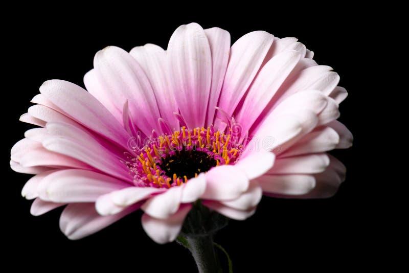 Różowa Gerbera stokrotka na Czarnym tle zdjęcie stock