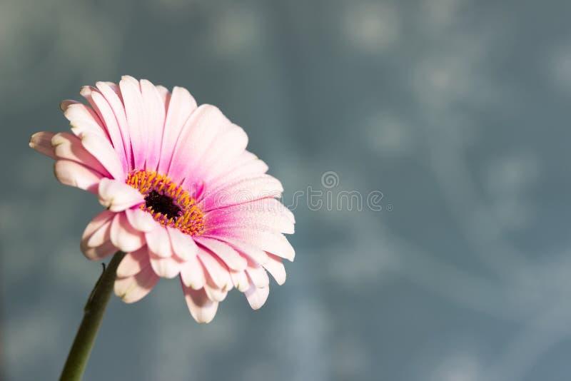 Różowa Gerbera stokrotka z wodnymi kropelkami na błękitnym tle fotografia stock
