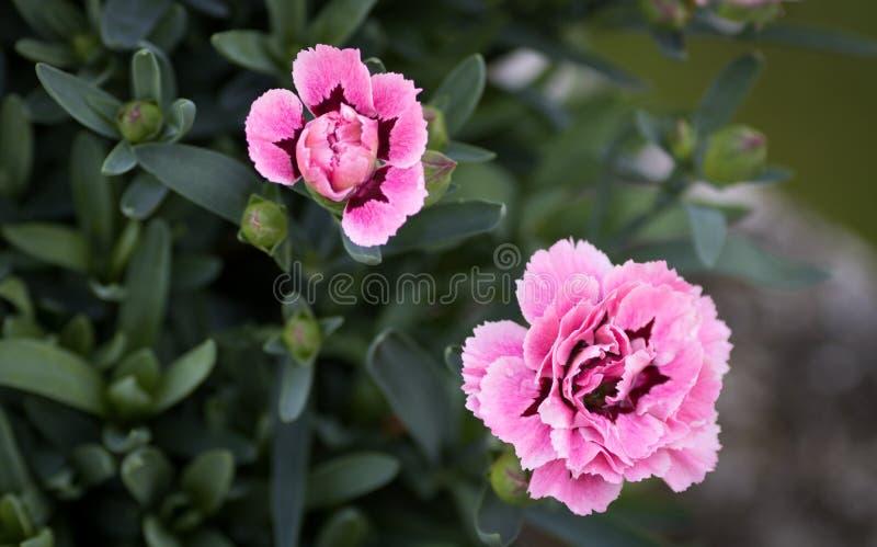 Różowa goździk roślina z grupą pączka widok od wierzchołka zdjęcie royalty free