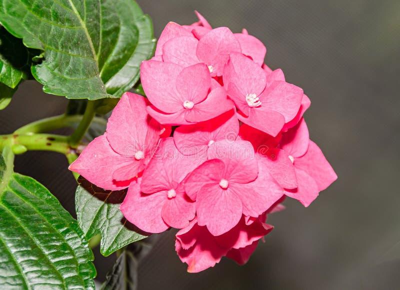 Różowa hortensja kwitnie up, hortensia krzaka rośliny zakończenie zdjęcie stock