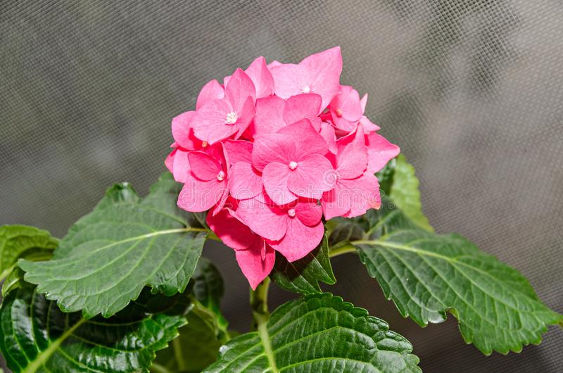 Różowa hortensja kwitnie up, hortensia krzaka rośliny zakończenie fotografia stock
