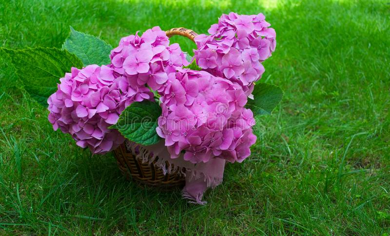 Różowa hortensja kwitnie w łozinowym koszu na luksusowej zielonej trawie obraz royalty free